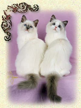 Ragdoll Kittens Blue Mitted and Blue Bicolor